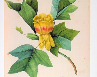 Redoute Yellow Tulip - 1979 Vintage Flowers Book Plate 88