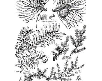 Norwegian Spruce, European Larch, Juniper - 1965 British Flowers Vintage Book Plate P100