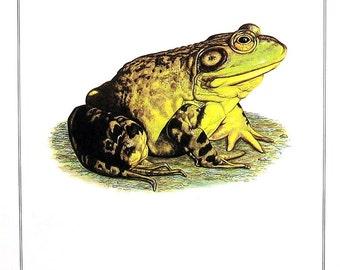 Bullfrog - Animal Print - 1982 Vintage Book Page - 7.5 x 10