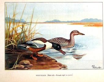 1926 Bird Print -  Shoveler, Pin Tail Duck - Vintage Book Page