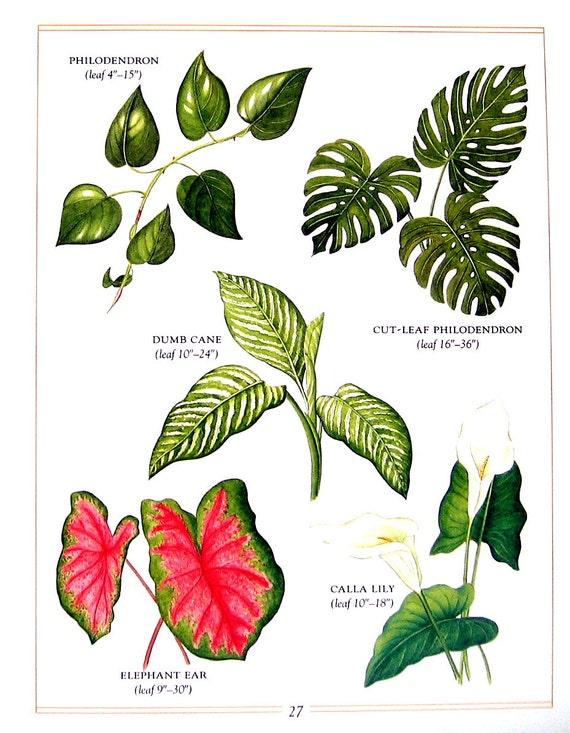 botanische print giftige blumen und pflanzen philodendron. Black Bedroom Furniture Sets. Home Design Ideas