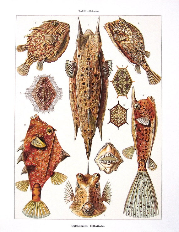 Puffer Fish, Box Fish, Trunk Fish and Acantharia - Haeckel Art - Vintage Print Book Page
