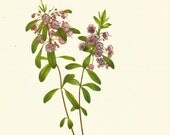 Flower Print - Lambkill - Vintage Wild Flower Print - Botanical Book Print - Wild Flowers of America - Bog Laurel - Mary Vaux Walcott