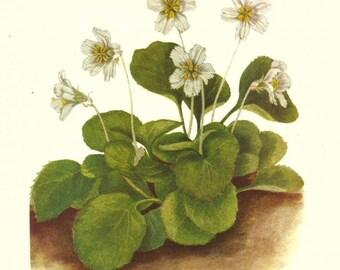Flower Print - Oconeebells - Vintage Wild Flower Print - Botanical Print - Wild Flower of America - Cranberry - Cowberry - Mary Vaux Walcott