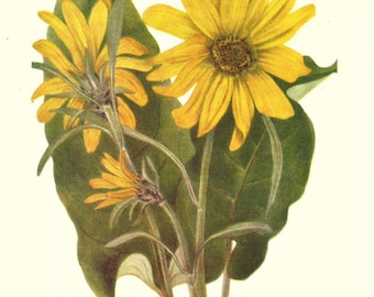 Flower Print - Balsam Root - Vintage Wild Flowers Print - Botanical Print - Wild Flowers of America - Sunflower - Mary V Walcott