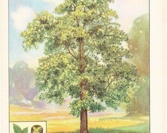 1926 Botany Print - Hickory Tree - Vintage Antique Book Art Illustration Nature Natural Science Great for Framing
