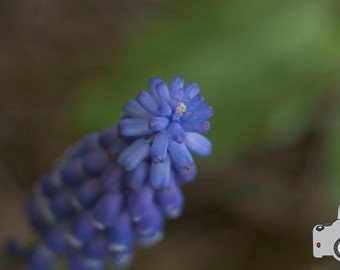 Grape Hyacinth Close Up - 8x10 Photograph