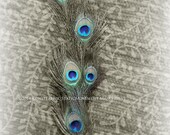 FEATHERED DREAMS  series Peacock Original Color Close Up Art Photograph