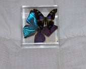 """Real Iridescent Morpho Butterfly and a """"Mosaic"""" Patterned Butterfly"""