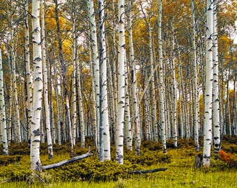 Birch Tree Grove in Fall with Autumn Leaves Medium Format Film Scan No.0007 Panorama Landscape Photograph
