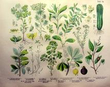 Beliebte artikel f r wolfsmilch auf etsy - Wolfsmilch zimmerpflanze ...