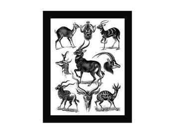 Deer Print Vintage Style Art Chart Natural History Black and White Grey Antelope