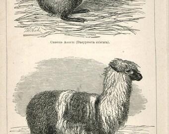 Antique Print, ALPACA AGOUTI Chart 1871 beautiful wall art vintage b/w engraving illustration animals