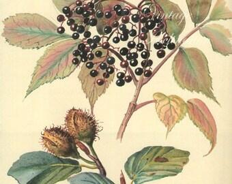 Antique Print, English ELDER BERRIES tree plants, Edwardian chart beautiful wall art vintage color lithograph illustration 1970 garden