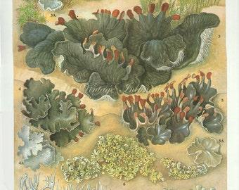 LICHEN Vintage Botanical Print Antique, plant print 29 botanical print, bookplate art print, herb plants plant wall print