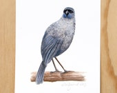 Kokako - a native New Zealand bird print