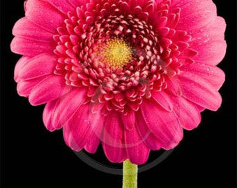 Pink Daisy, Frog on Gerber Daisy, Flower, Gerber Photo