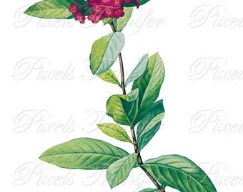 IXORA Wedding Clipart pink Instant Download purple flower botanical illustration West Indian Jasmine 330