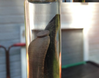 Leech in a Jar - Preserved Wet Specimen Taxidermy