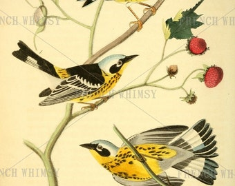 Vintage Bird Book Plate of a Black & Yellow Wood Warbler by J Audubon,1840. 7 x 12 Inches 300 dpi - CU Digital Download
