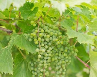 Vineyard Wine Vine Grapes Door County Wisconsin Green Photography Decor Art 8x10 Photo
