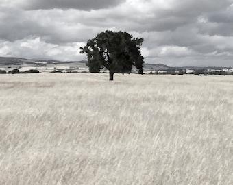 Art print oak tree, grass, hill, foothill, sky, cloud, storm, California, Knights Ferry, field