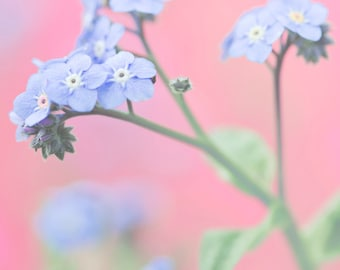 Forget Me Not 8x10 Print Blue Flowers