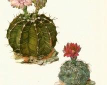 Gorgeous ANTIQUE CACTUS PRINT Dwarf Chin Cactus Vintage 1971 Botanical Print Flower Wall Art Home Decor (Cacti 13)