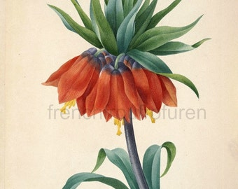antique french botanical illustration kaiser's crown botanical print DIGITAL DOWNLOAD