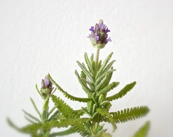 Lavender photo, gifts for mom, bathroom wall art, botanical prints, cottage chic, nature wall decor