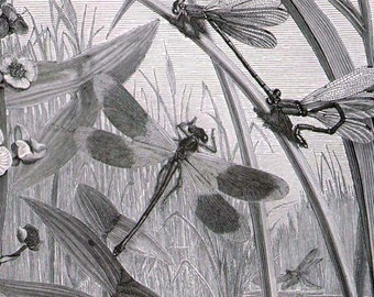 Dragonfly Birth 1887 Victorian Entomology Insects Natural History Engraving To Frame