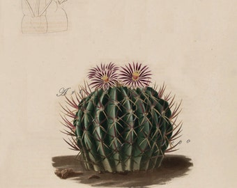 vintage cactus print, an antique scientific illustration, printable digital image no. 1608