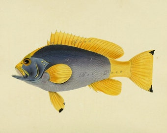 vintage fish print of an exotic blue and yellow fish, printable digital image no.  692