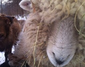 White Romney Wool Roving, 8 oz