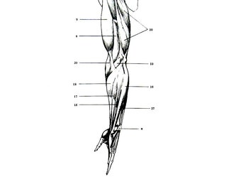Human Anatomy - The Muscles of the Arm 3 - 1975 Vintage Anatomy Print -  12 x 9