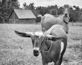 Animal Photography, Goat Photograph, Animal Art, Two, Goats, Black & White Photo, Barn, Farm Animals  - All Ears