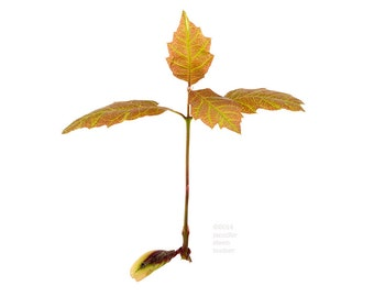 Oak Seedling - 8 x 8 Botanical Photograph
