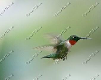 Ruby Throated Hummingbird in Flight Bird Cute Fine Art Photography Print