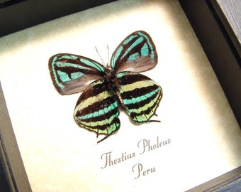 Real Framed Real Rare Thestius Pholeus Blue Green Rainbow Hairstreak Butterfly 8184
