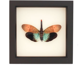 Real Framed Insect Lanternfly Pyrops pyrorhyncha Shadowbox Display