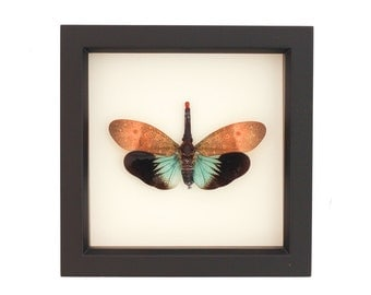 Real Framed Insect Lanternfly Display