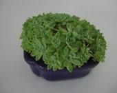 OverFlowing Small Succulent Garden - Gift,Table Setting, Centerpiece, Zen