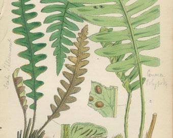 Scaly Spleenwort, Fern 1, Antique Vintage Hi-Res Digital Raw Scan, Download for Artwork and Printing