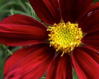 Cosmos, Dazzler Cosmos Seeds   Stunning Deep Rich Color Easy Plant to Grow