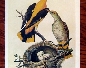 Pair of Golden Oriole Print Page From 1975 The Book of Birds, Reprint, Birds, Oriolus, Engraving Cornelis Nozeman,Reverse side Frontispiece