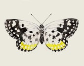 "Black & Yellow Butterfly - Archival Print from my Original Watercolor Illustration - 8""x10"", 5""x7"", 9""x12"" or 11""x14"" Natural History Art"