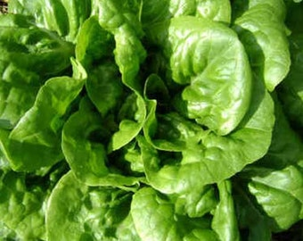 Organic Buttercrunch Lettuce Seeds