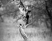 11 X 14 Safari Nursery Art, BABY GIRAFFE and MOTHER Photo, Black and White Print,  Mom and Baby Animal Photography, Wildlife Photo, Safari