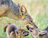 Cute Baby Animals, Jackal...