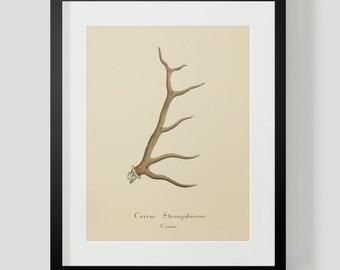 Vintage Elk Antler Print